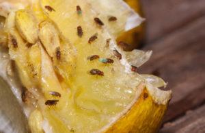 sposób na muszki owocówki